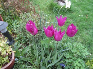 mooie tulpen